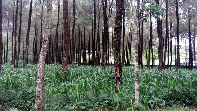 Perhutani KPH Malang Datangkan Penyadap Pinus JawaTengah, Kenapa